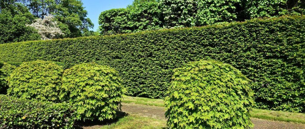Immergrüne Hecken – eine beliebte Art der Gartenbegrenzung