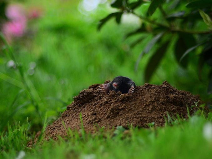 Maulwurf im Garten vertreiben - diese vier Punkte helfen tatsächlich