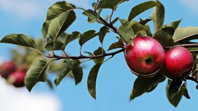 Das richtige Düngen von Obstbäumen - Ratgeber und Tipps